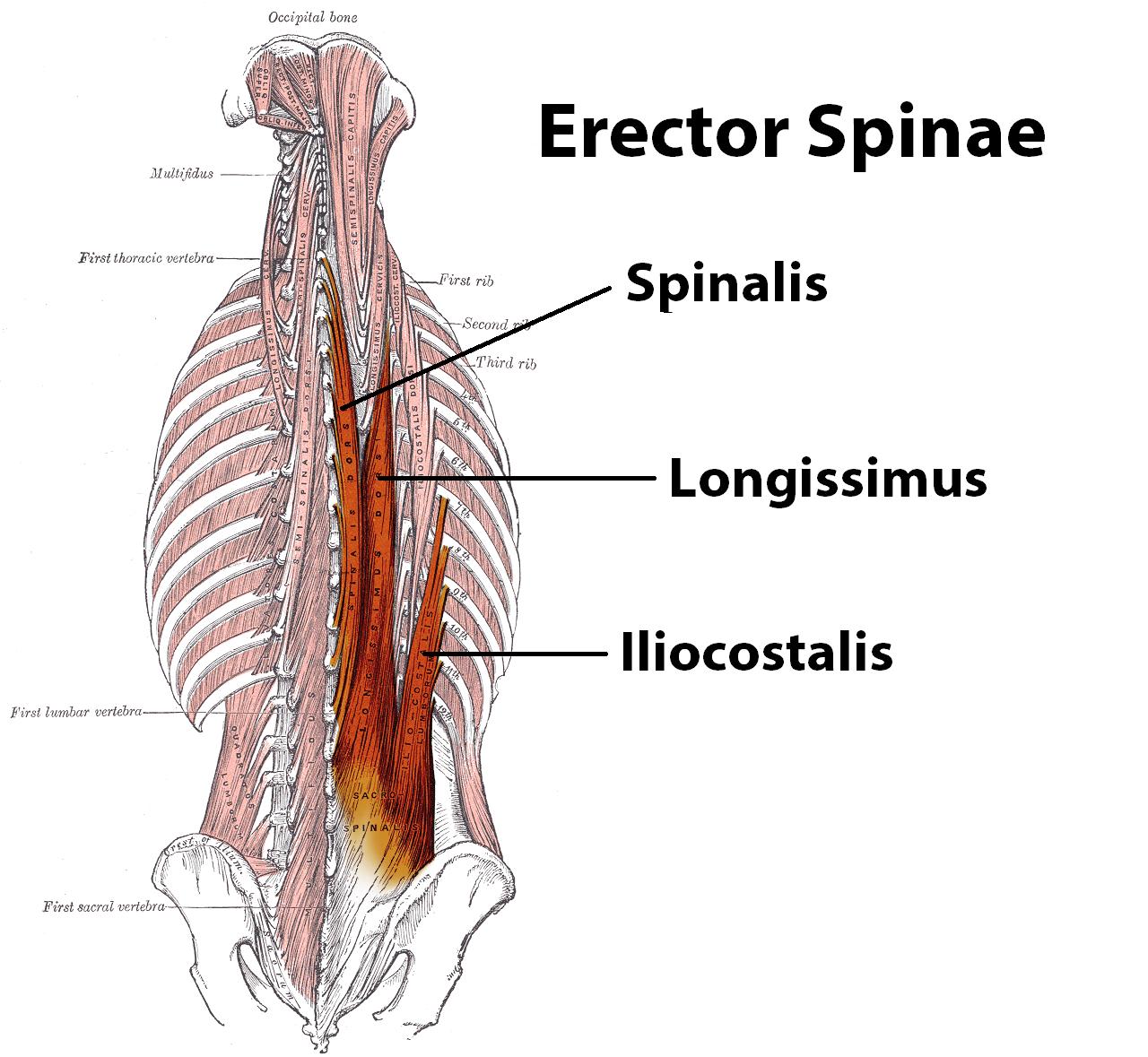 Erector Spinalis Related Keywords - Erector Spinalis Long ...